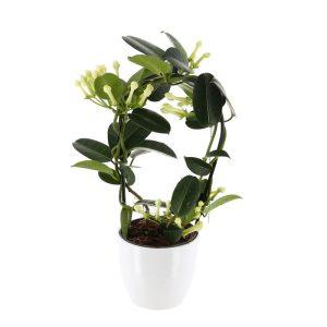 stephanotis in ghiveci ceramic alb 300x300 - Acasă - Florarie Online Curtea de Arges