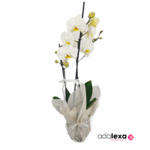 w orhidee alba cadou 300x300 - Acasă - Florarie Online Curtea de Arges